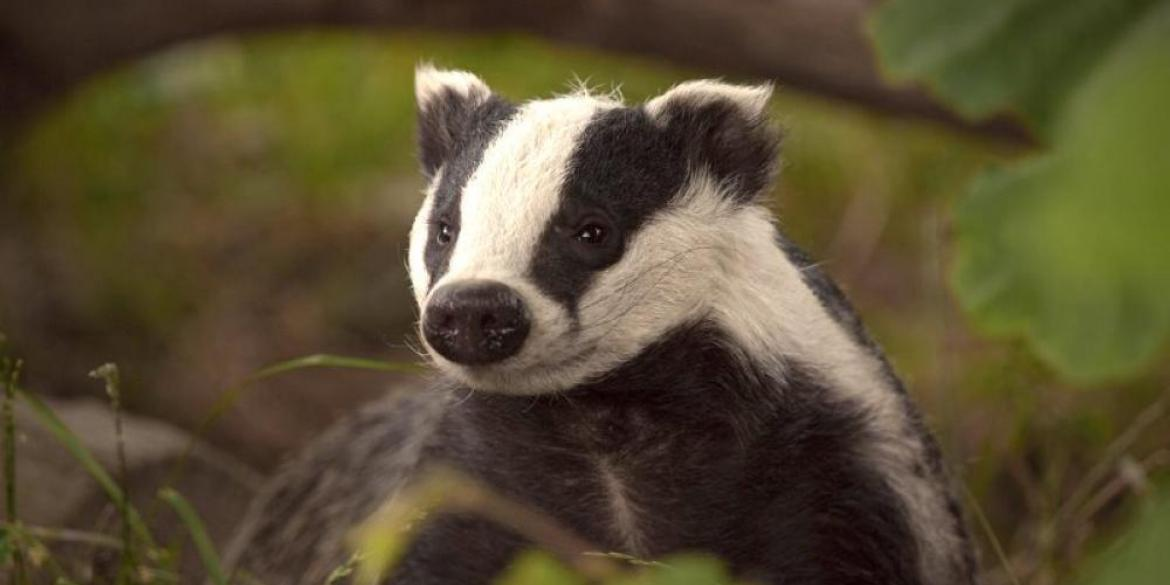 A cute baby badger